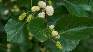 weiße Maulbeeren am Ast