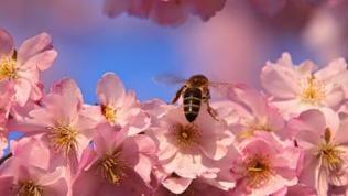 Eine Biene inmitten von vielen Blüten einer Wildkirsche