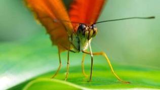 Ein Schmetterling saugt mit seinem Rüssel Flüssigkeit von einem Blatt.