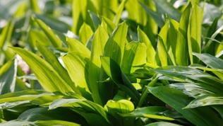 Bärlauch wächst auch in Rheinland-Pfalz im Frühjahr