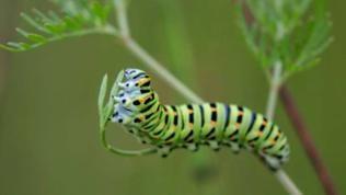 Raupe des Schalbenschwanz-Schmetterlings