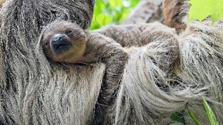 Faultierbaby auf dem Rücken seiner Mutter