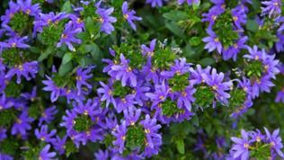 Blau blühende Fächerblumen.