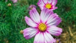 Weiß-rosa blühender Zweizahn.