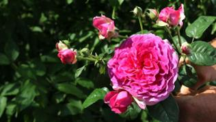 Rose Laudatio