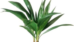 Priesterpalme (Washingtonia filifera)