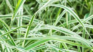 Carex oshimensis- Carex Gras