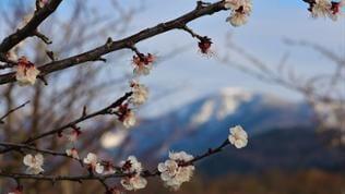 Blüten vor schneebedeckten Bergen