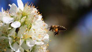 Eine Biene fliegt auf eine Obstblüte zu