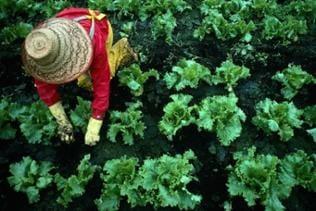 Gärtner pflegt Salatpflanzen