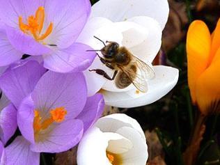Biene fliegt über eine Krokusblüte