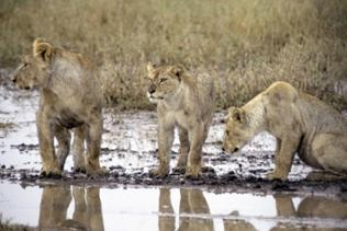 Löwinnen an einer kargen Wasserstelle