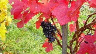 Rote Weintrauben hängen im herbstlichen Weinberg