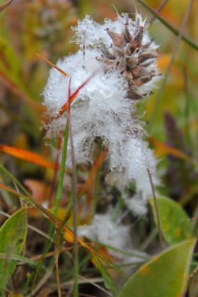 Der angetaute Tundraboden erlaubt nur Flechten, Moosen und Gräsern eine kurze Blütezeit während des nordpolaren Sommers.