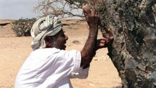 Ein Weihrauchernter öffnet die Rinde eines Weihrauchbaums
