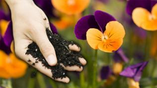Eine Hand mit Blumenerde vor Stiefmütterchen