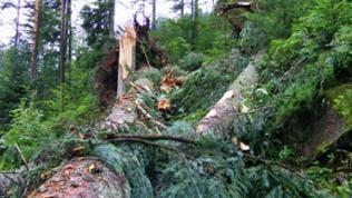 Zerstörung nach Unwetter im Schwarzwald: Umgeknickter Baum bei Baiersbronn