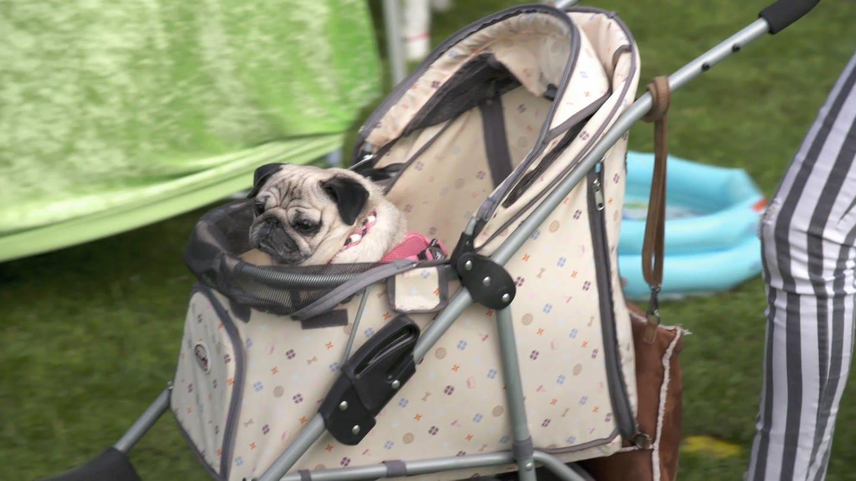 Fertig organisiert Charity-Mopspartys mit Mopsrennen für kranke Hunde (Foto: SWR)