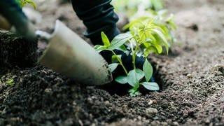 Setzling wird eingepflanzt (Foto: SWR)