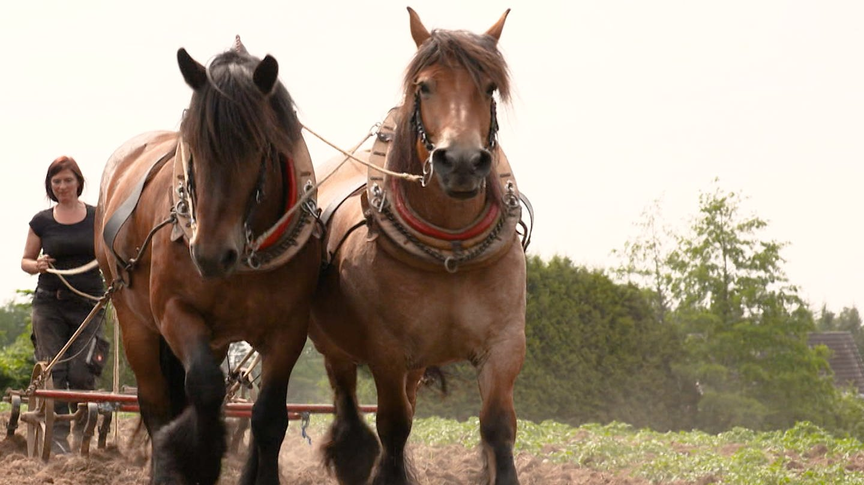 Ackerbau wie früher – mit Pferd und Pflug (Foto: SWR)
