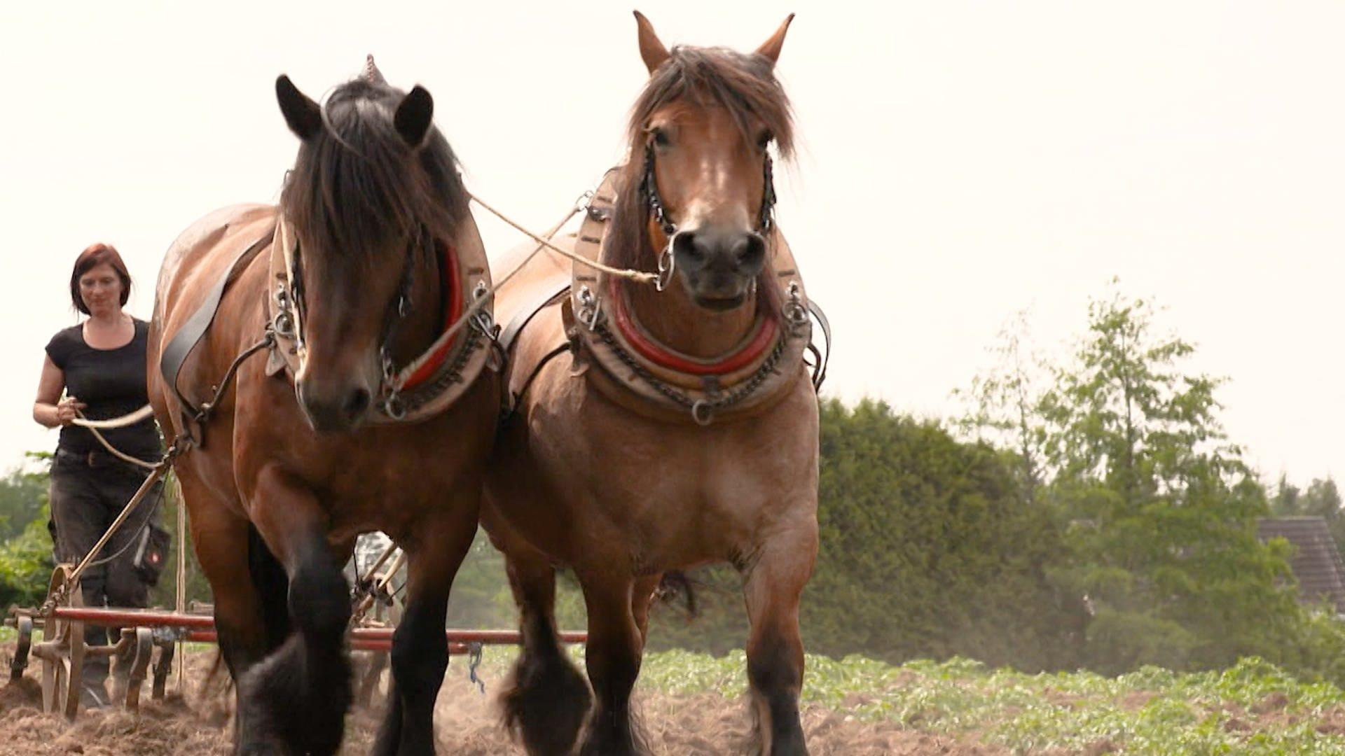Ackerbau wie früher – mit Pferd und Pflug