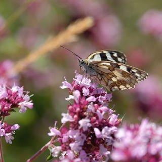 Schachbrettfalter auf rosa Blüte (Foto: SWR, Peter Bernstein/SWR)