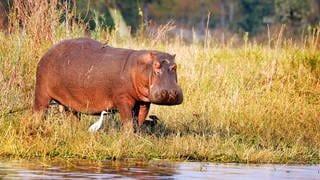 Flusspferd (Foto: picture-alliance / Reportdienste, Picture Alliance)