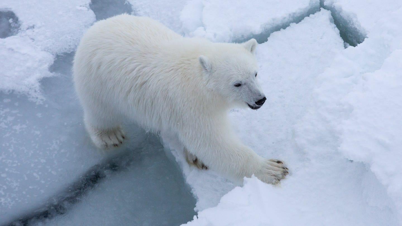 Eisbär, Polarstern-Expedition (Foto: Alfred-Wegener-Institut / Esther Horvath)