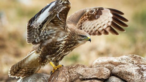 Bussard (Foto: picture-alliance / Reportdienste, Picture Alliance)