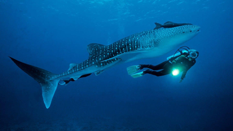 Taucher mit einem Walhai (Rhincodon typus), dem größten Fisch der Welt
