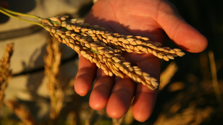 Reisernte - eine Hand hält eine Reisähre