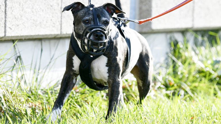 American Staffordshire Terrier (Foto: picture-alliance / Reportdienste, picture alliance/APA/picturedesk.com)