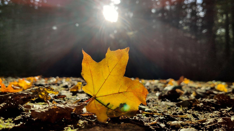 Ein herbstlich verfärbtes Blatt liegt in einem Wald bei Freiburg in der Sonne. (Foto: dpa Bildfunk, Patrick Seeger)