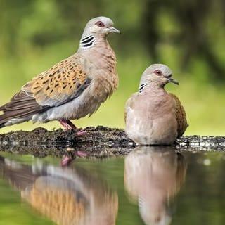 """Turteltaube zum """"Vogel des Jahres 2020"""" gewählt (Foto: dpa Bildfunk, Thomas Hinsche)"""