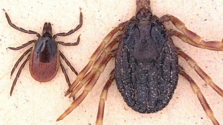 Zecken im Größenvergleich: Gemeiner Holzbock (links) und Hyalomma marginatum (rechts) (Foto: dpa Bildfunk, Foto: Lidia Chitimia-Dobler/Institut für Mikrobiologie der Bundeswehr/dpa)