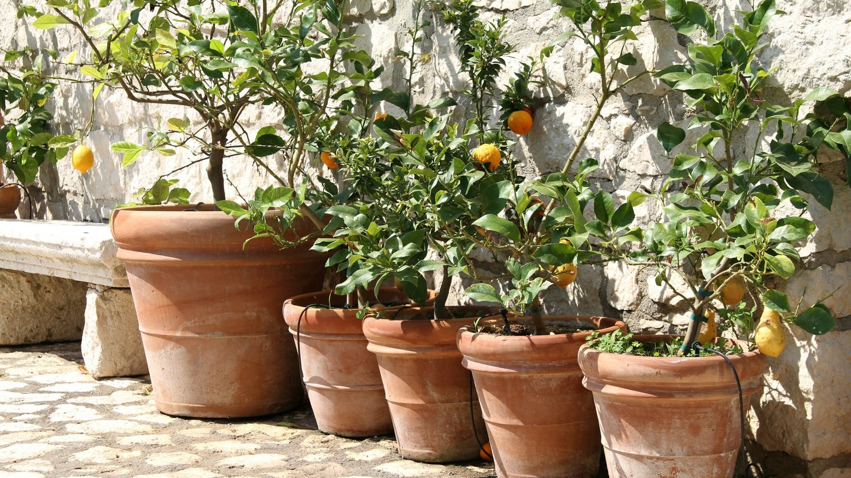 Zitronenbäumchen in Blumentöpfen (Foto: picture alliance / Lars Halbauer)