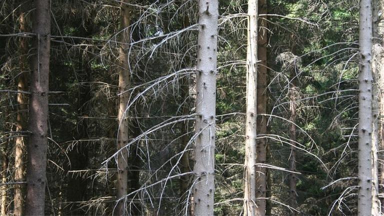 Trockene Fichtenbäume, die die Äste hängen lassen