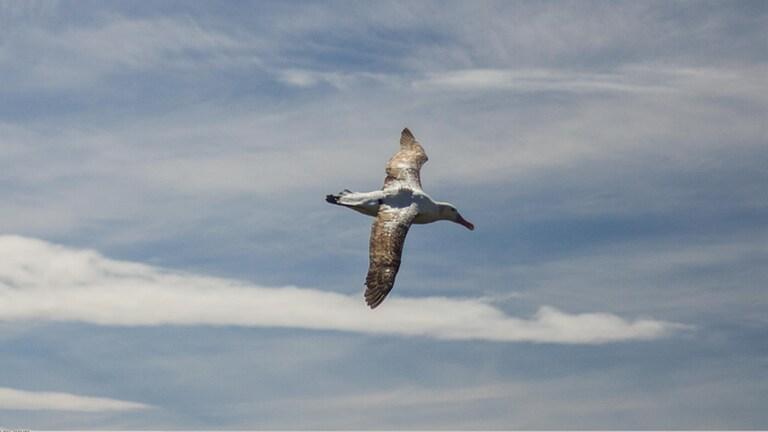 Forscher überprüfen mit Hilfe von Albatrossen, ob sich Fischerboote an Regeln halten (Foto: Pressestelle, Julien Collet)