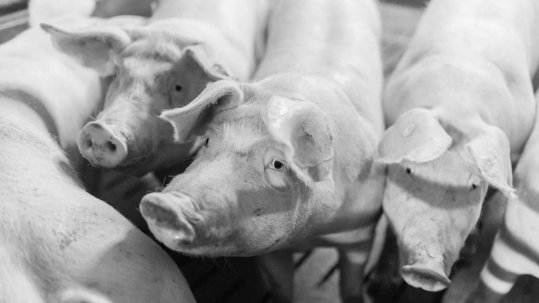 Hausschweine gehalten in einem koventionellen Schweinemastbetrieb (Foto: Imago, imago images / Marius Schwarz)