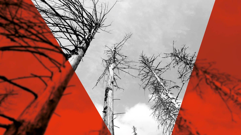 Ein vom Borkenkäfer zerstörter Fichtenwald (Foto: dpa Bildfunk, Julian Stratenschulte)