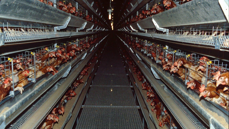 Hühner in den Käfigen einer Legefabrik (Foto: Imago, imago stock&people)