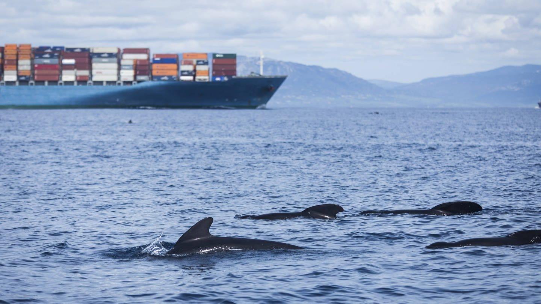 Wale vor einem Frachtschiff in der Straße von Gibraltar (Foto: Imago, imago images  Westend61)