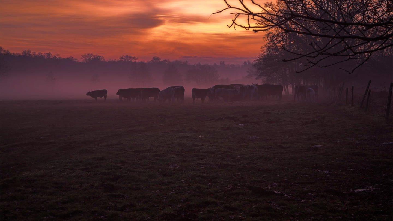 Kuhherde in der Dämmerung auf dem Feld (Foto: Imago, imago/UIG)