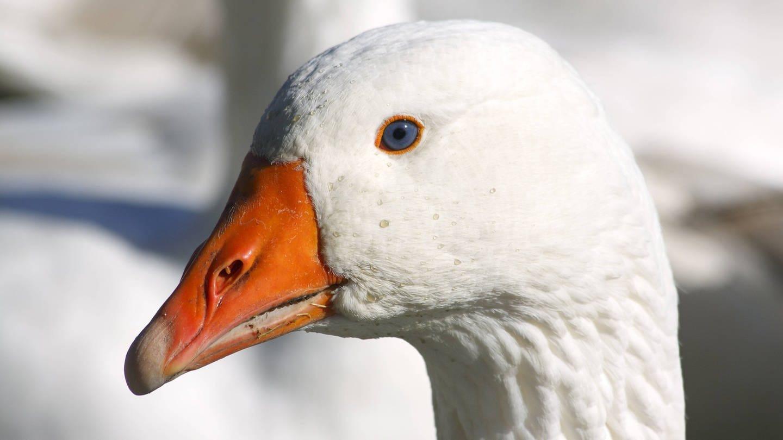 Porträt einer weißen Gans (Foto: Imago, imago/imagebroker)