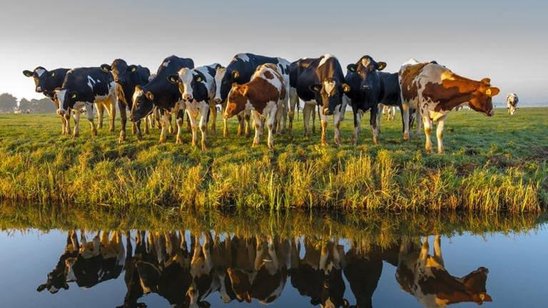 Kühe im Herbst auf einer Weide vor einem Fluss.