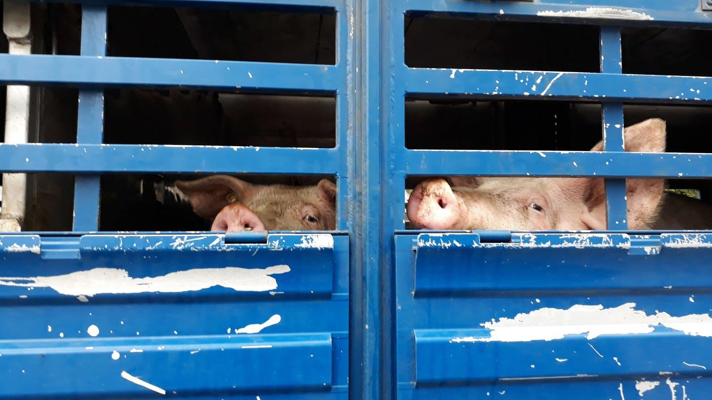 Anlieferung der Schweine zum Schlachthof (Foto: Erika Harzer)