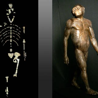 This undated image provided by the University of Texas at Austin shows the skeleton of Lucy, a fossil specimen of an early human ancestor, Australopithecus afarensis   ile photo shows a three-dimensional model of the early human ancestor, Australopithecus afarensis, known as Lucy, on display at the Houston Museum of Natural Science (Foto: picture-alliance / Reportdienste, AP Photo)
