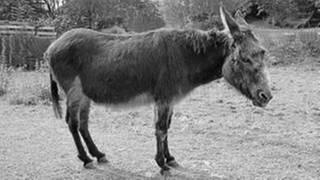 Donkey (Foto: Colourbox, skyfish, colorbox - Birgit Reitz-Hofmann)