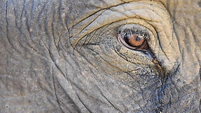 Elefanten haben schöne Augen und lange Wimpern. (Foto: SWR, SWR -  Foto: Peter Jaeggi)