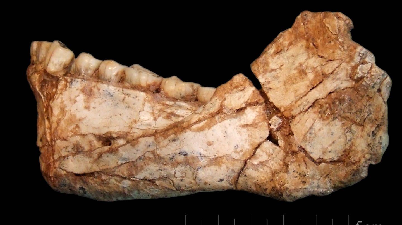 Unterkiefer, gefunden in Jebel Irhoud / Marokko, ca. 300.000 Jahre alt